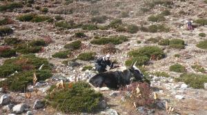Tony photo bombing yaks