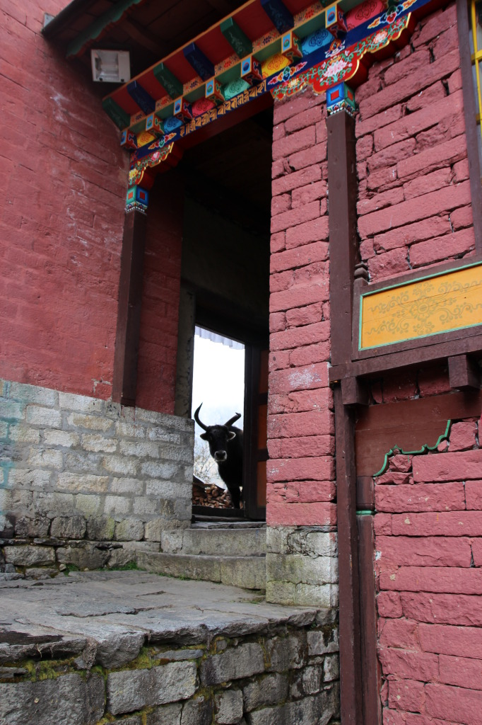 Yak in Monastery (2)