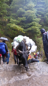 Yak under load uphill