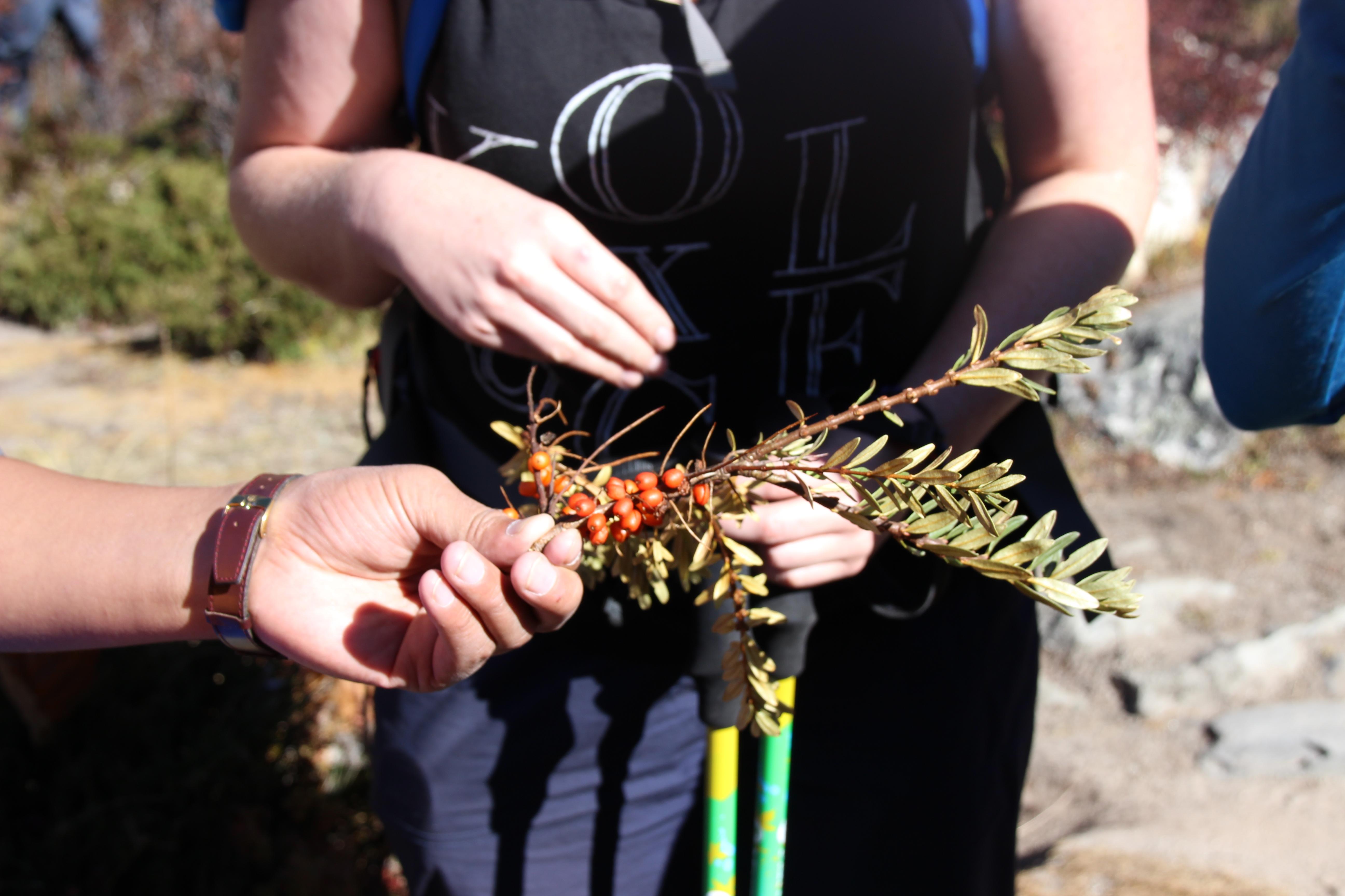 Seabuckthorn Picking